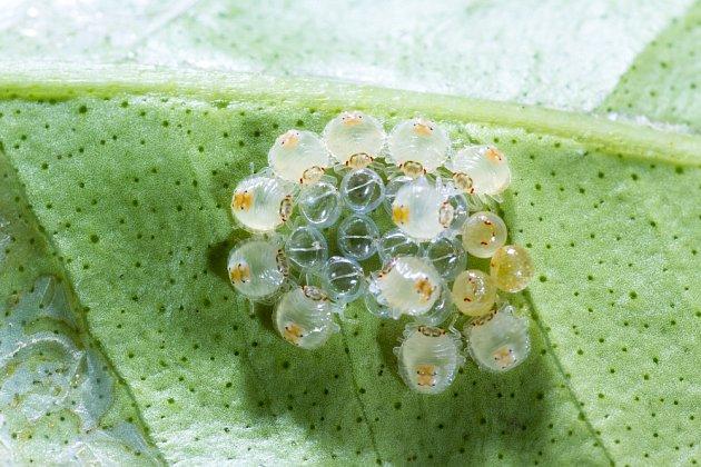Za jednu sezónu může vzniknout až dvacet generací svilušek.