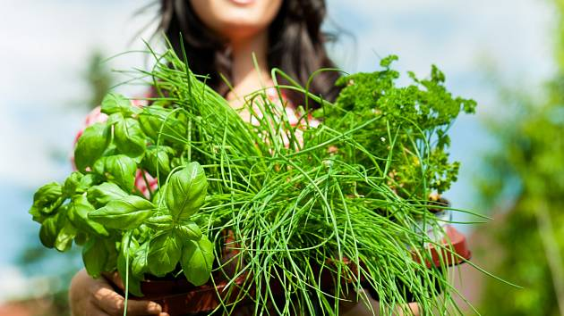Skliďte a usušte poslední letošní bylinky.