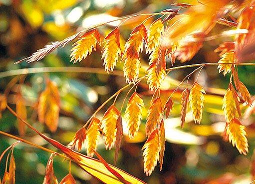 Uniola širolistá (Chasmanthium latifolium)