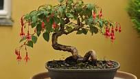 Fuchsie pěstovaná jako bonsaj.