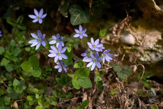 Jaterník nejprve kvete, listy se objeví až později.