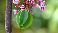 Karambola kvete atraktivními růžovými květy.