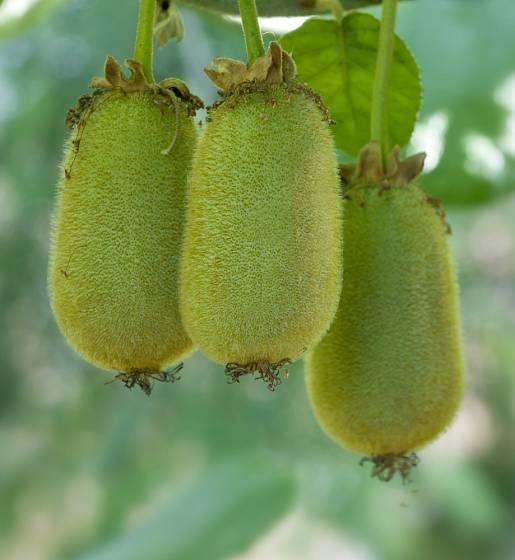 Plody kiwi mají často různou barvu, tvar i chuť.