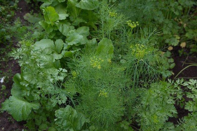 Kopr, roketa, petržel a další bylinky mohou růst pospolu