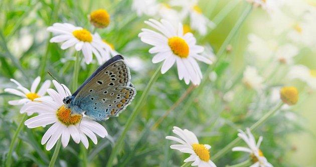 Luční květiny lákají a sytí motýly, například modrásky