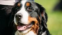 Bernští salašničtí psi jsou klidní psi milující děti.