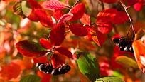 Na podzim se temnoplodec, aronie, nádherně vybarvuje