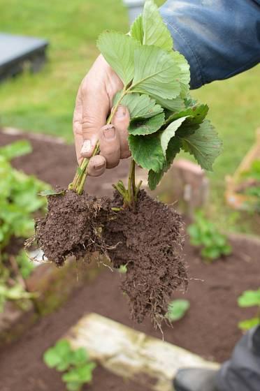 Přebytečné sazenice ze srpnové výsadby využijte na jaře