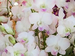 Exotické orchideje jsou často nazývány královnami všech květin.