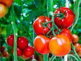 Rajčata jsou plodná, z jedné rostliny sklidíte až několik kilogramů