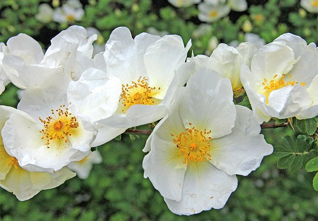 Růže omejská