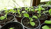 Sazeničky petúnií na světle pěkně rostou a košatí