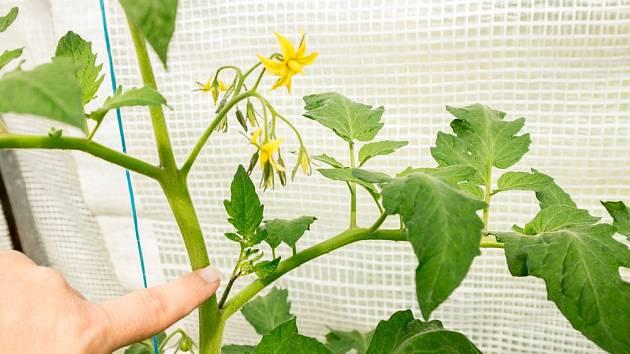 Tyčková rajčata je třeba zbavovat postranních výhonů.