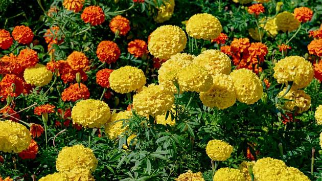 Efektní a nenáročný záhon vytvoříte z různých druhů a odrůd aksamitníku