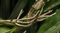 Vzdušné kořeny orchideje Dendrobium nobile.
