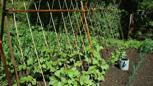 Popínavé fazole se ovíjejí kolem připravené opory