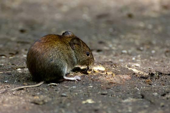 Hraboš polní měří kolem 10 cm, ocas má krátký jen 3–4 cm.