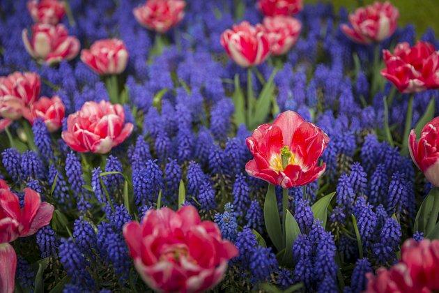 Mezi modřenci vyniknou tulipány růžových, žlutých nebo bílých barev