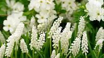 Bíle kvetoucí modřenec (Muscari botryoides 'Album')