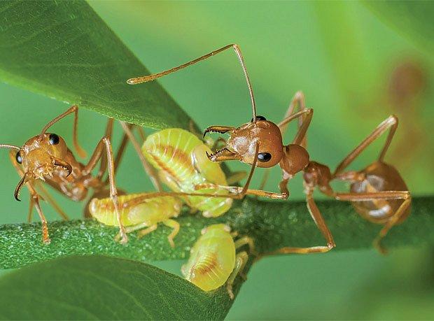 V naších zeměpisných šířkách se vyskytují mravenci chovatelé
