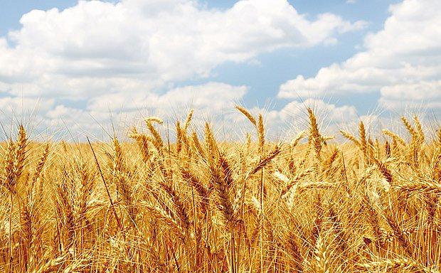 pole zralé pšenice