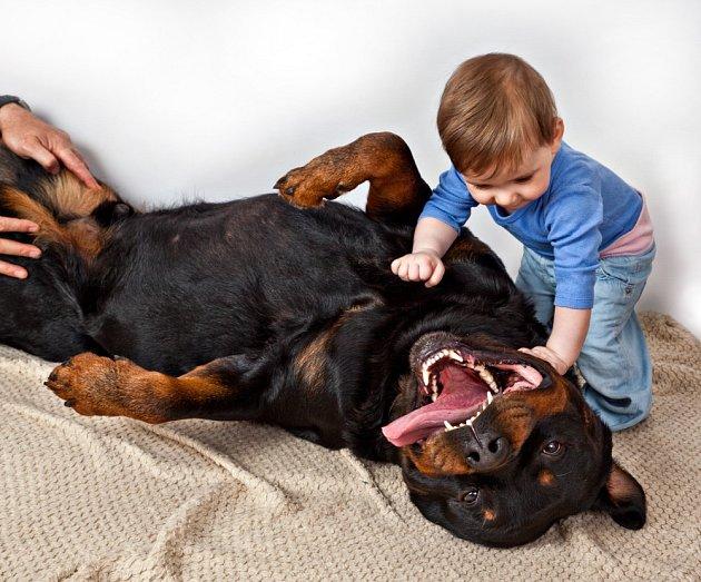 Rotvajler je klidný pes dobrých nervů.