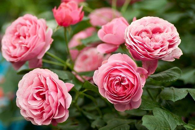 Plnokvěté růžové růže.