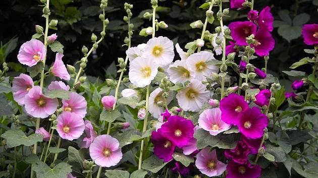 topolovka slézová (Alcea rosea)