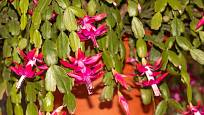 Čím je vánoční kaktus starší, tím bohatěji kvete.