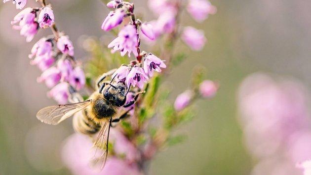 Vřes nabízí nektar na sklonku léta a na podzim