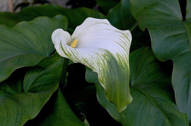 Zantedeschia aethiopica 'Green Goddess' má toulce zeleně žíhané