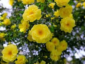 Žlutě zbarvené odrůdy růží dodají zahradě jas a radostnou atmosféru