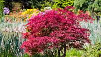 japonský javor, Acer palmatum