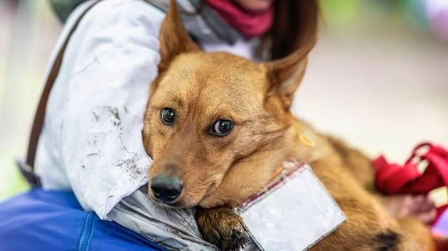 Bázlivost získají někteří psi v důsledku hrubého zacházení ze strany člověka či po napadení jiným zvířetem.