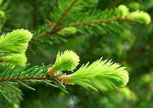výhonky borovice