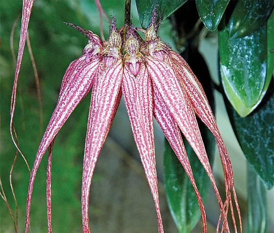 Bulbophyllum 'Louis Sander'