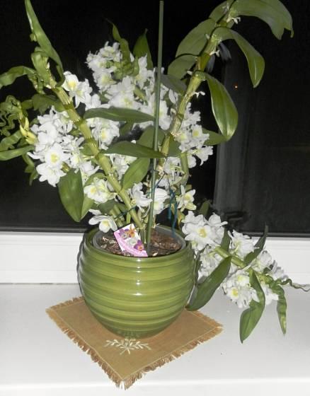 Také Dendrobium nobile každoročně bohatě kvete.