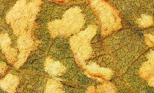 vlnovník révový (Colomerus vitis)