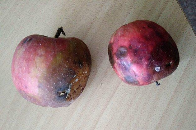 Jablka pěkně narostou, ale na konci léta se začnou kazit ještě  na stromech.
