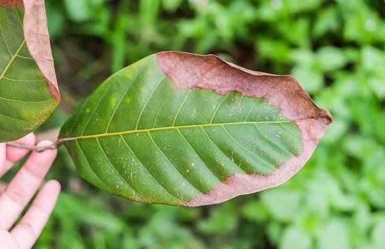 Nedostatek draslíku se často projevuje schnutím okrajů listů