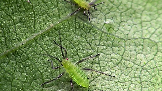 šice se často ukrývají na spodní straně listů