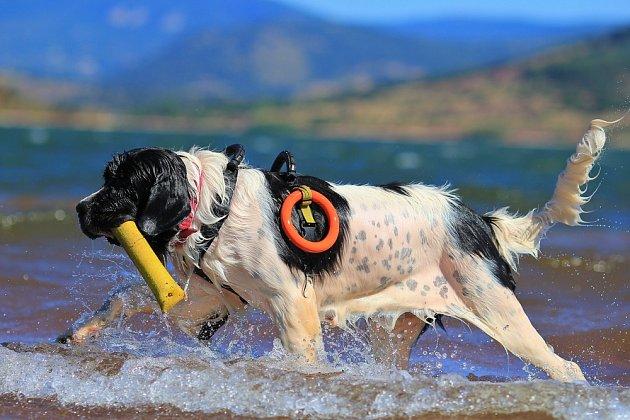 Landseer velmi miluje vodu a tak bývá využíván jako vodní záchranář.
