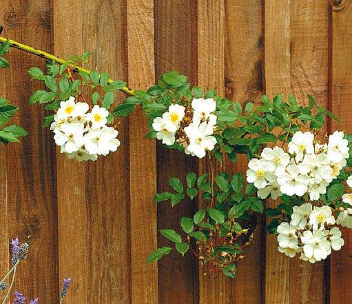 Dělicí stěna s popínavou růží