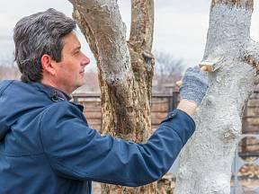 Natírání stromů vápenným mlékem je už tradice.