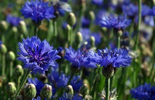 Chrpa modrá (Centaurea cyanus)