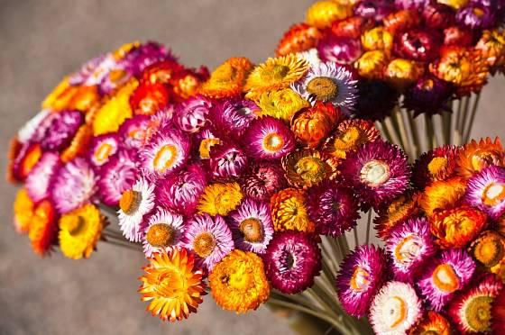 Slaměnka listnatá (Helichrysum bracteatum) patří k oblíbeným květinám na sušení.