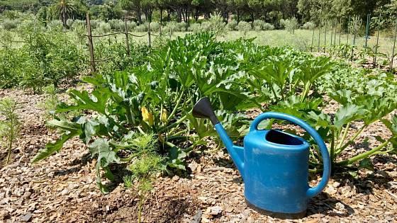Pokud mají růst a plodit, vodu cukety potřebují