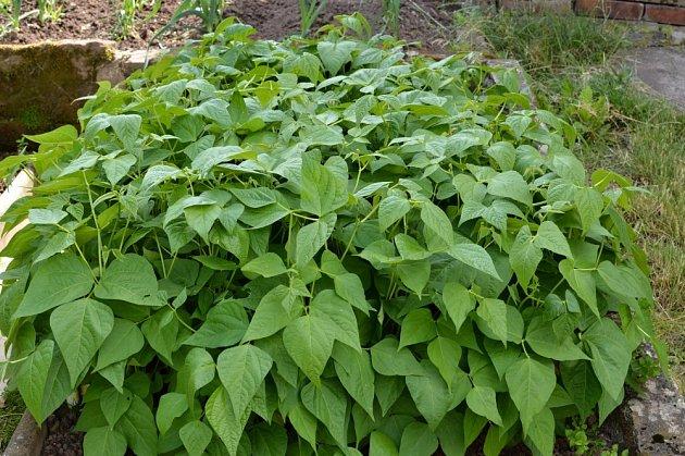 Fazol je rostlina prospěšná organismu i zahradě.