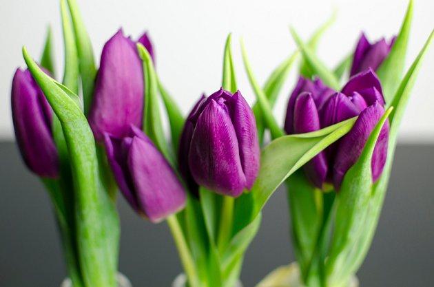 Purpurové tulipány symbolizují královskou vznešenost.