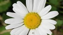 Květ pravého heřmánku. Když ho rozpůlíte, bude dutý.